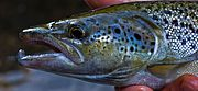 Photo of an Atlantic Salmon from Vermont Fish & Wildlife Department.