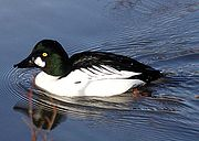 A common goldeneye male. Photo from Wikipedia.