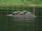 Basking map turtles. Photo by Megan Epler Wood.