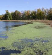 Blue-Green Algae on Lake Champlain.