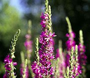 The Department of Environmental Conservation is now allowed to help stop the spread of invasive species like Purple Loosestrife. Photo by Department of Natural Resources.